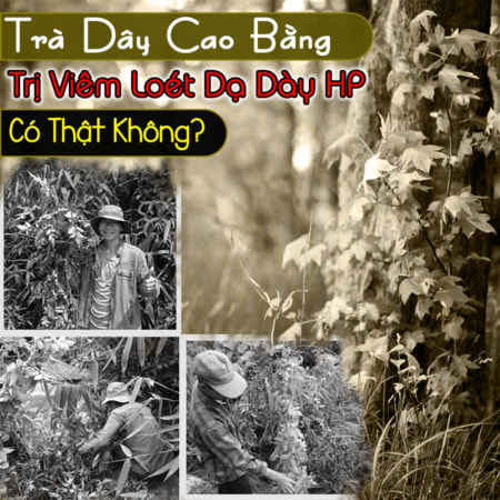 Che Day Cao Bang